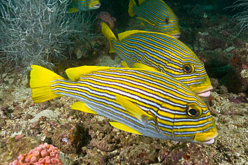 Several ribbon sweetlips lined up near a cleaning station for Fish cleaning station near me